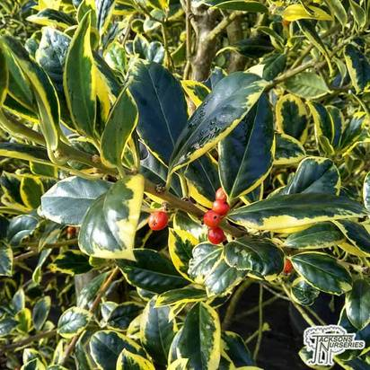 Buy Ilex x altaclerensis Golden King (Variegated Holly) online from Jacksons Nurseries.