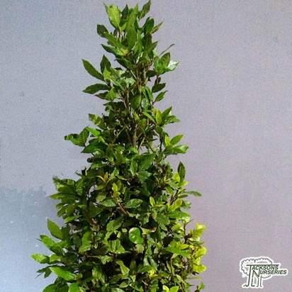 Buy Laurus nobilis Cone (Bay Laurel) online from Jacksons Nurseries.