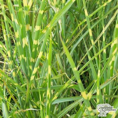 Buy Miscanthus sinensis Gold bar  (Chinese silver grass) online from Jacksons Nurseries.