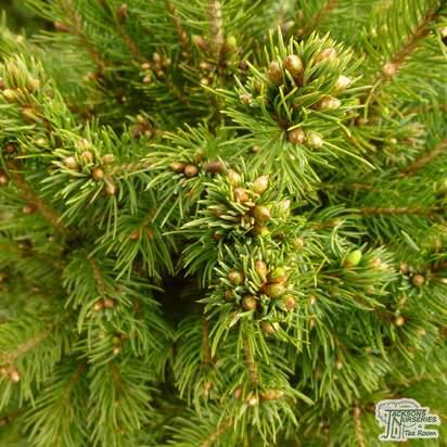 Buy Picea glauca var. albertiana 'Conica' online from Jacksons Nurseries