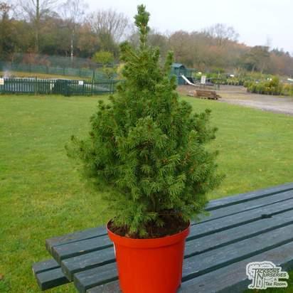 Buy Picea glauca var. albertiana 'Conica' (Alberta Spruce) online from Jacksons Nurseries