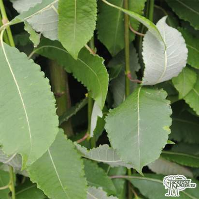 Buy Salix caprea Kilmarnock (Kilmarnock Willow) online from Jacksons Nurseries.