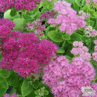 Sedum_spectabile_Brilliant_Group