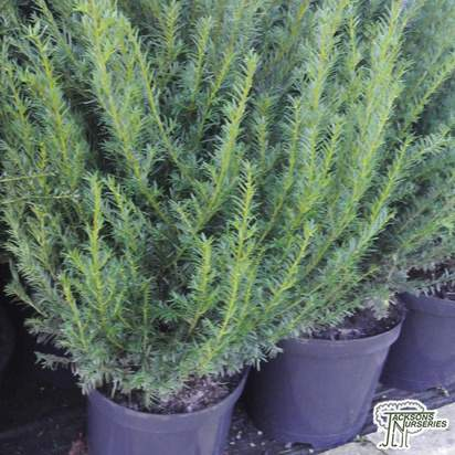 Buy Taxus baccata (Common Yew) online from Jacksons Nurseries.