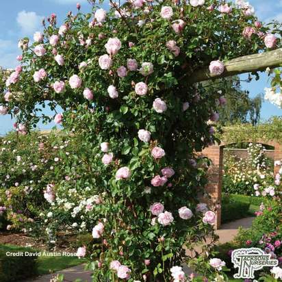 Buy Rosa Generous Gardener online from Jacksons Nurseries.