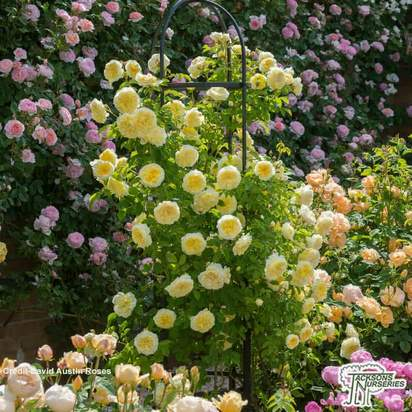 Buy Rosa The Pilgrim (David Austin English Rose) online from Jacksons Nurseries.