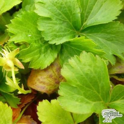Buy Waldsteinia ternata (Siberian waldsteinia) online from Jacksons Nurseries.