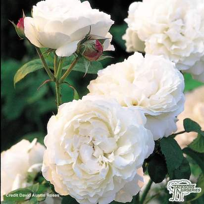 Buy Rosa Winchester Cathedral (English Shrub Rose) online from Jacksons Nurseries.