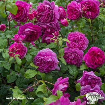 Buy Rosa 'Young Lycidas' (English Rose) online from Jacksons Nurseries