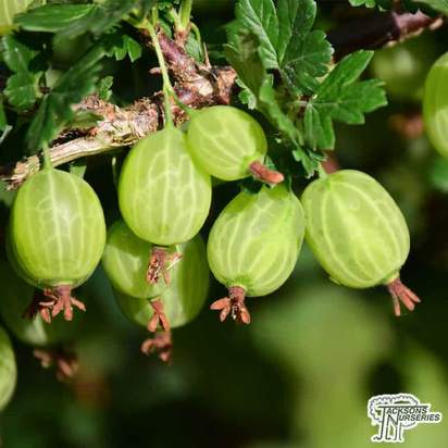 Buy Gooseberry - Ribes uva-crispa 'Invicta' online from Jacksons Nurseries.
