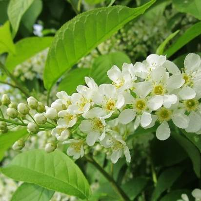 Prunus Padus Bare Root