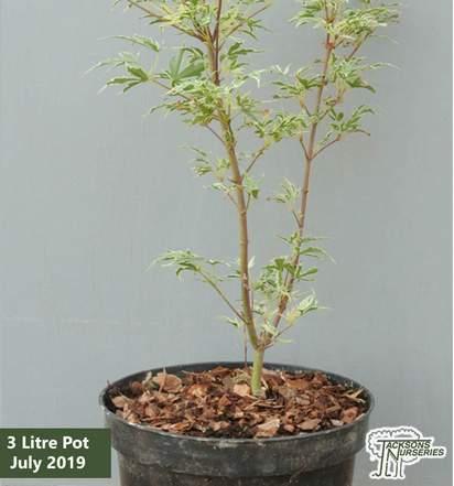 Buy Acer palmatum Butterfly(Japanese Maple) online from Jacksons Nurseries
