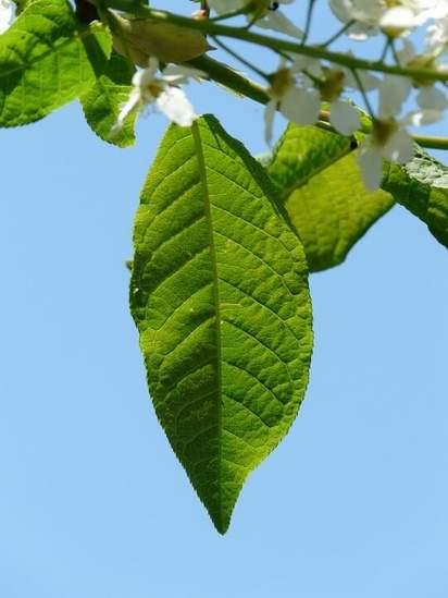 Prunus Padus foliage