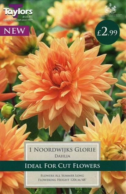 Dahlia Noordwijks Glorie (1 Pack) Taylors Bulbs