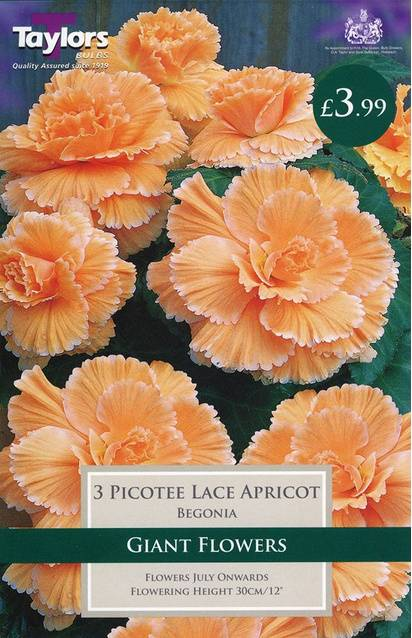 Begonia Picotee Lace Apricot (3 Pack) Taylors Bulbs