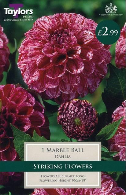 Dahlia Marble Ball (1 Pack) Taylors Bulbs