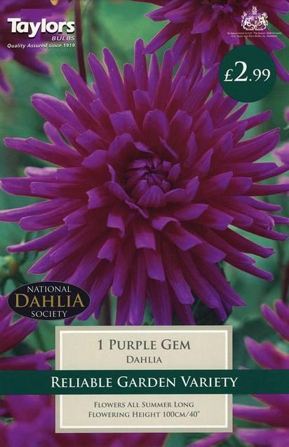 Dahlia Purple Gem (1 Pack) Taylors Bulbs