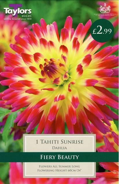 Dahlia Tahiti Sunrise (1 Pack) Taylors Bulbs
