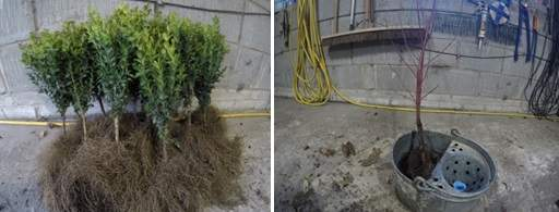 Bare root Buxus and Cornus in bucket