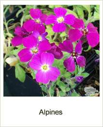 Buy Alpines online at Jacksons Nurseries