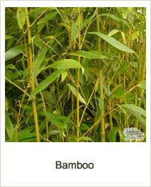 Buy Bamboo online at Jacksons Nurseries