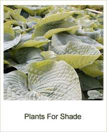 Buy Plants Suitable For Shade Online
