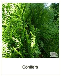 Buy Conifers online at Jacksons Nurseries