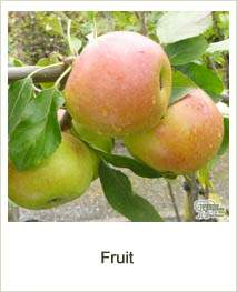 Buy Fruit Trees & Bushes online at Jacksons Nurseries