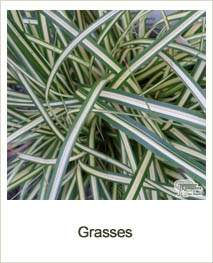 Buy Ornamental Grasses online at Jacksons Nurseries