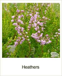 Buy Heathers online at Jacksons Nurseries