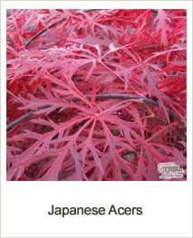 Buy Japanese Acers online at Jacksons Nurseries