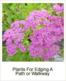 Buy Plants For Edging A Path Or Walkway