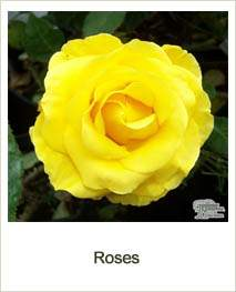 Buy Roses online at Jacksons Nurseries
