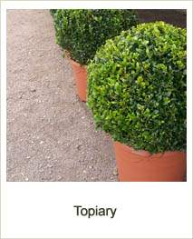 Buy Topiary online at Jacksons Nurseries