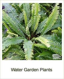 Buy Water Garden Plants Online