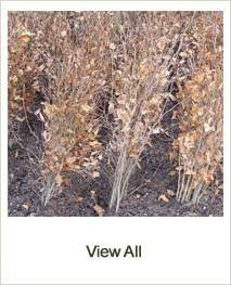 Buy Bare Root Hedging, Shrubs & Trees online at Jacksons Nurseries
