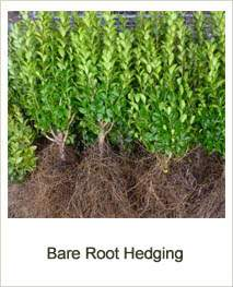 Buy Bare Root Hedging online at Jacksons Nurseries