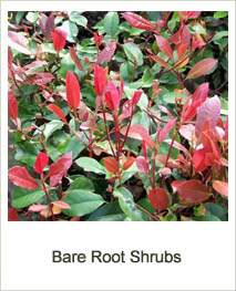 Buy Bare Root Shrubs online at Jacksons Nurseries