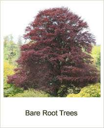 Buy Bare Root Trees at online Jacksons Nurseries